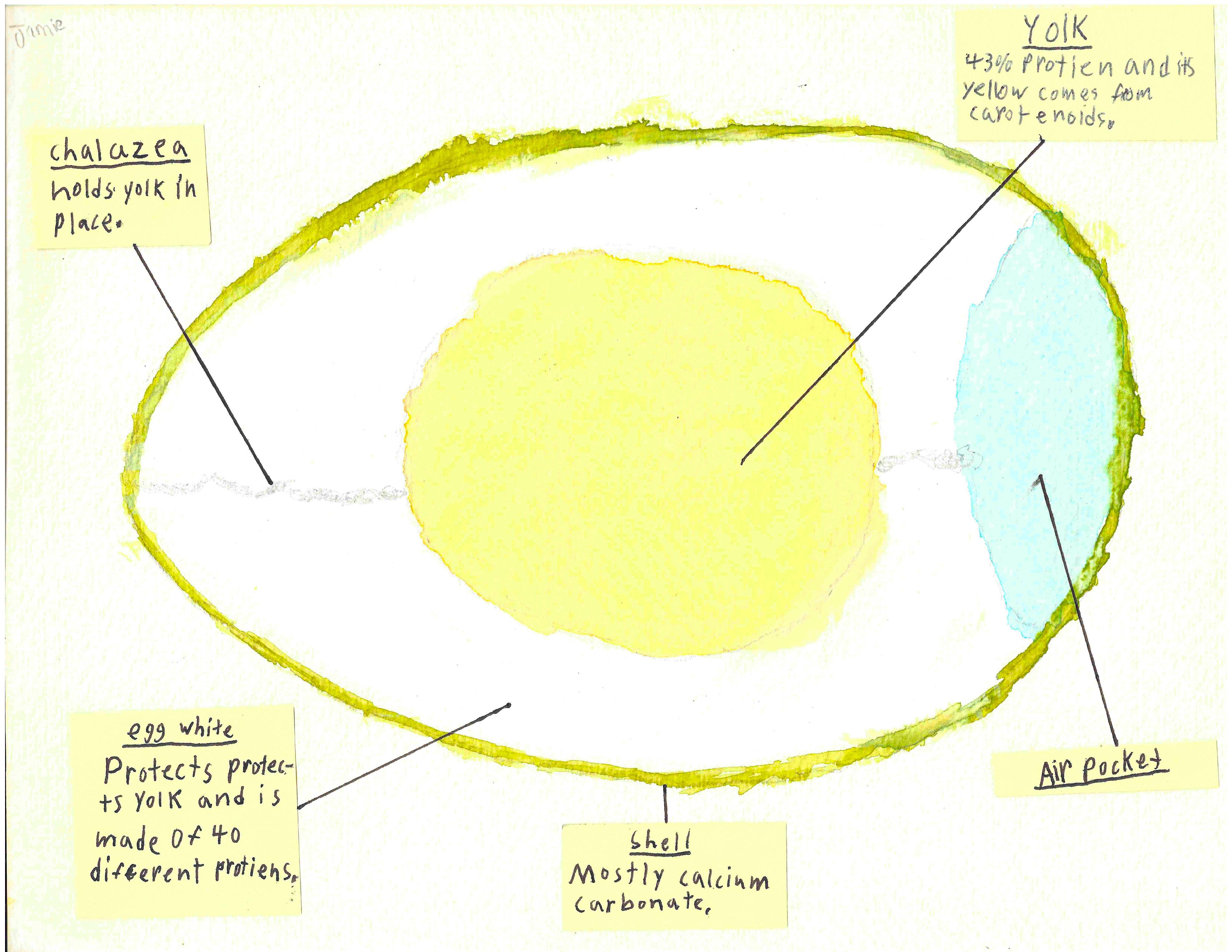 egg structure study. Black Bedroom Furniture Sets. Home Design Ideas