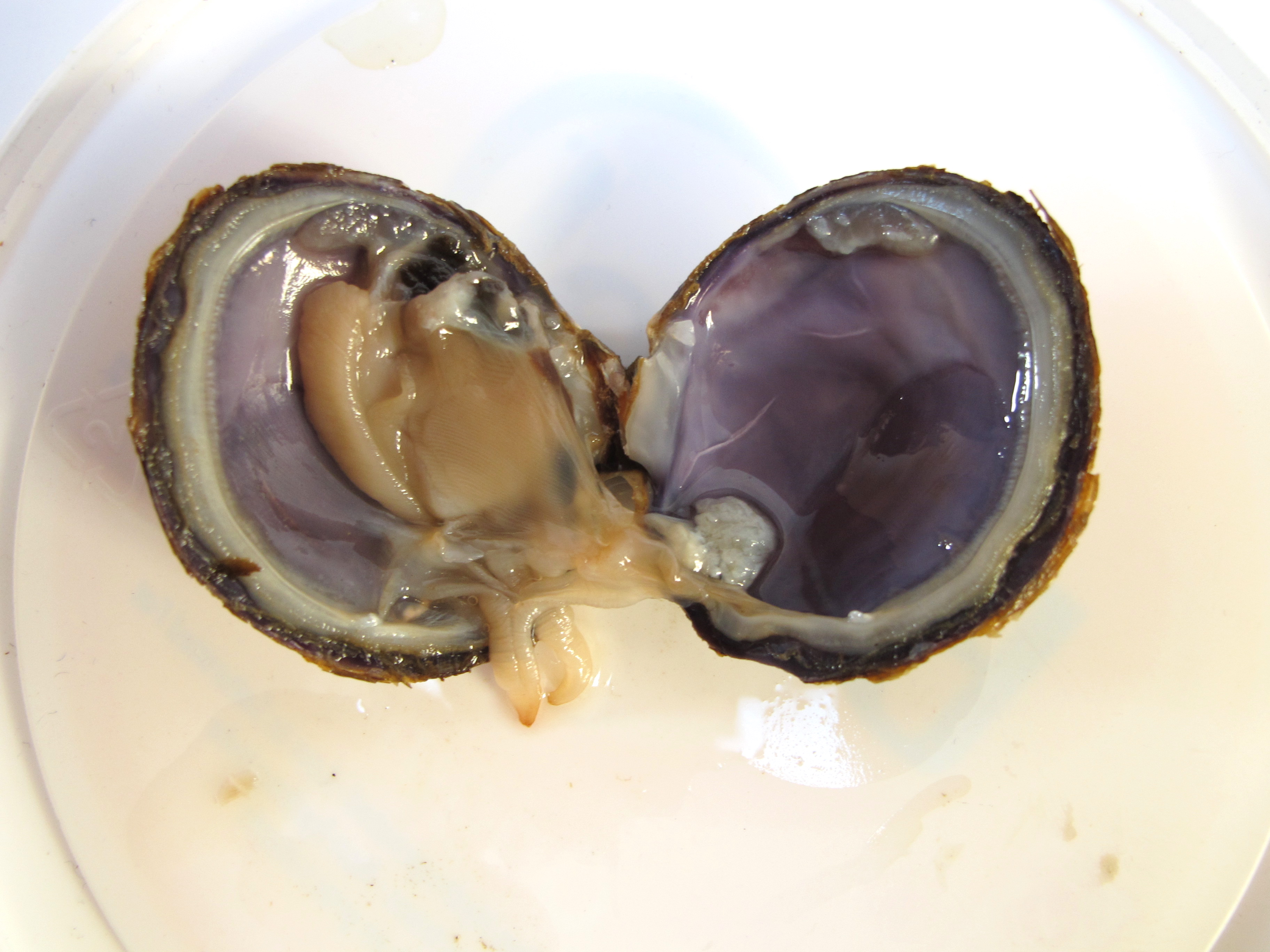 Clam dissection (or mussel) | ingridscience.ca