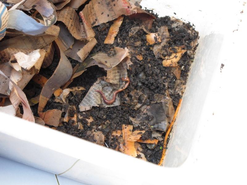 Worms: indoor compost bin | ingridscience ca