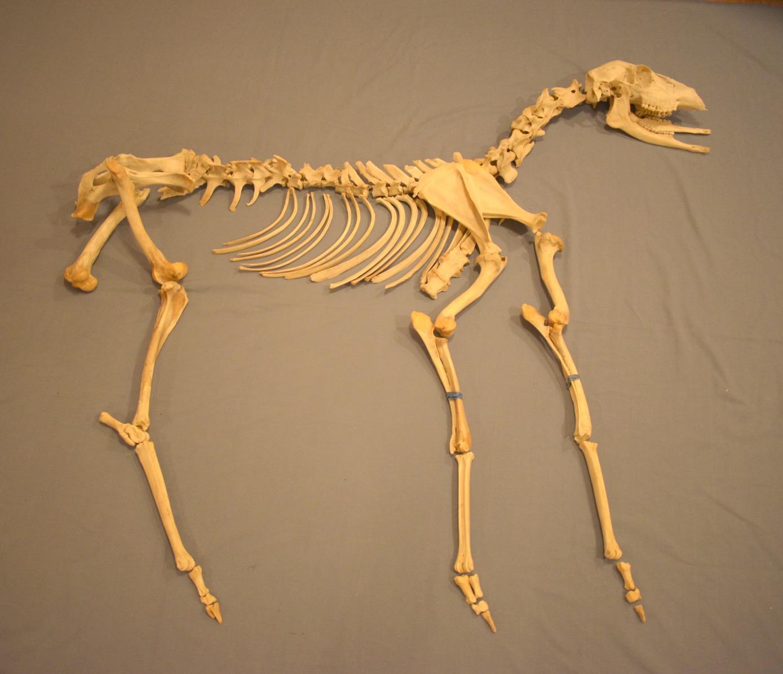 Deer Skeleton Puzzle Ingridscience